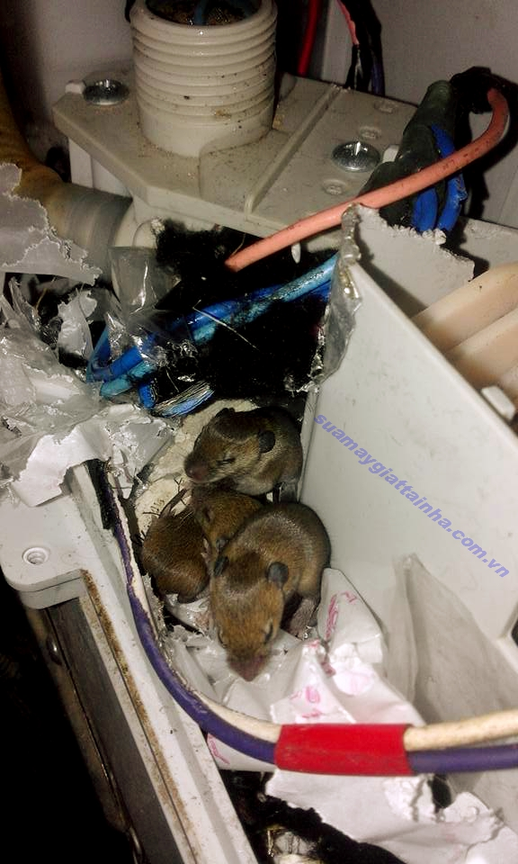 Máy giặt bị chuột cắn làm tổ